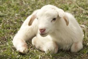 如何挑选羊肩排一步教你选购羊排技巧